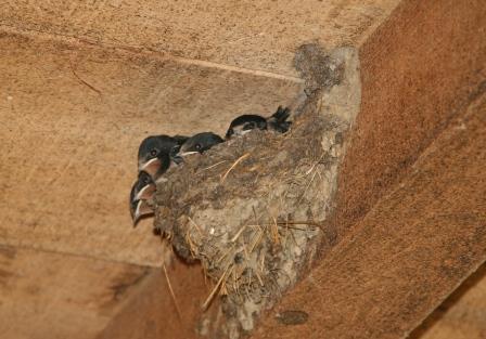 Gnijezdo lastavica