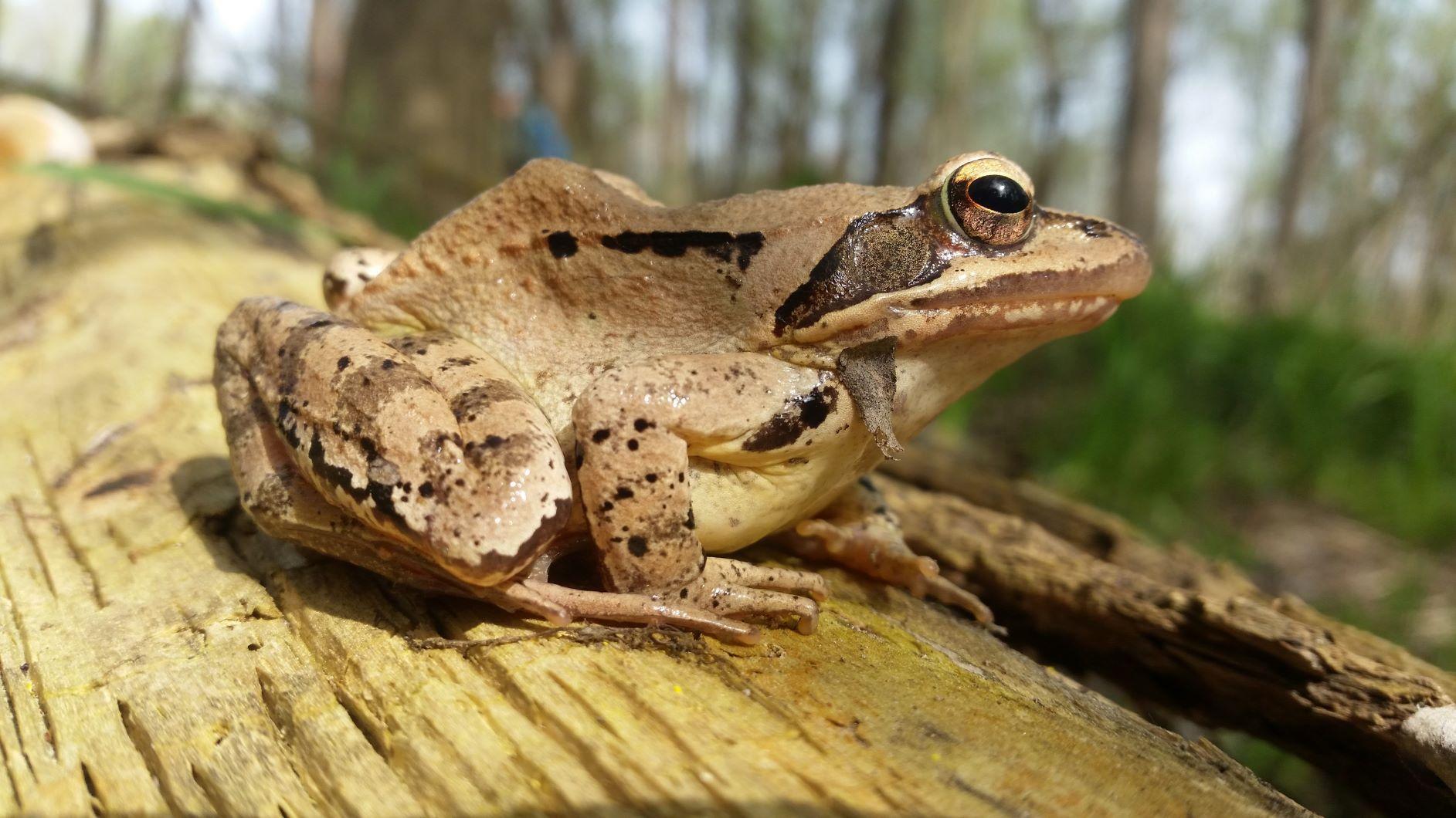 RP MD_smeđa žaba